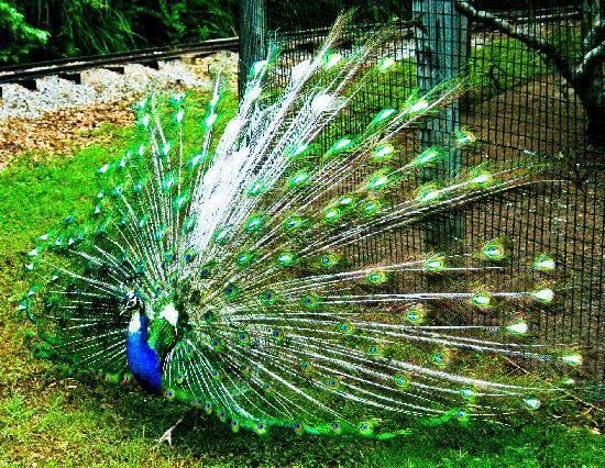 Broussard, Luizjana: A beautiful peacock - Photo owned by Just Chill Here