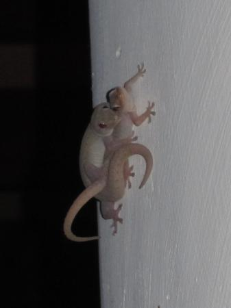 Hotel Parador: Geckos watching us eat dinner - they're actually entertaining