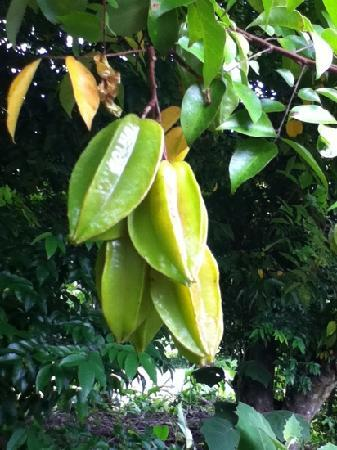 Center for Tropical Agricultural Research and Education (CATIE): star fruit