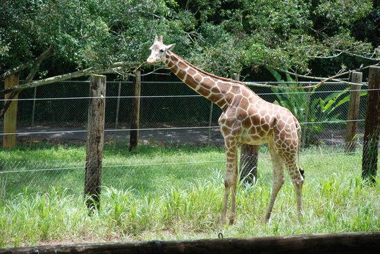 Mayaguez, Puerto Rico: giraffe