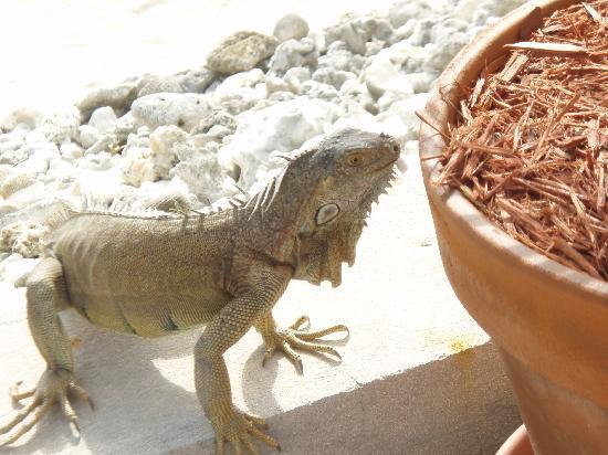 Coral Sands Resort: iguanas get close!