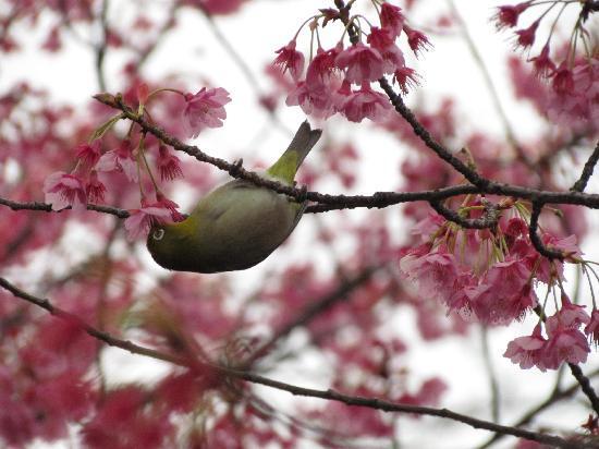 Shinagawa, Japon : Feb.2011  A Mejiro bird at Ebara Jinja