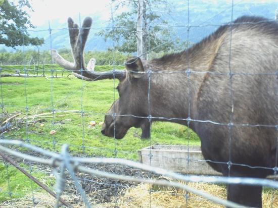 Big Game Alaska: Mr. Moose