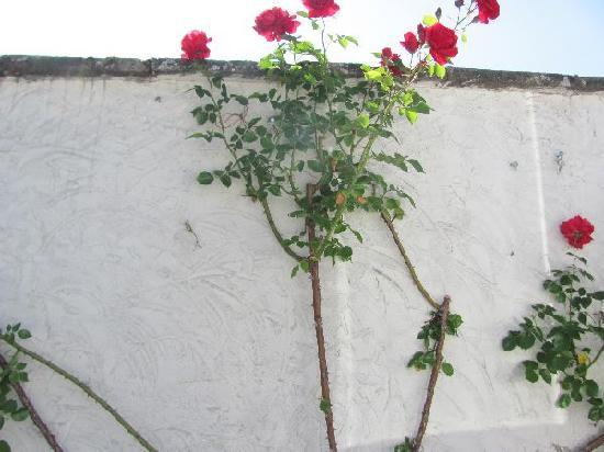 Kloster Johannisberg: red roses at at white wall