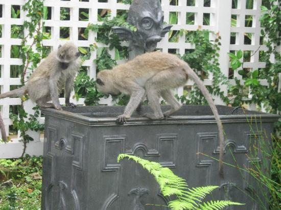 The Neuk Guest House: Monkeys visiting The Neuk