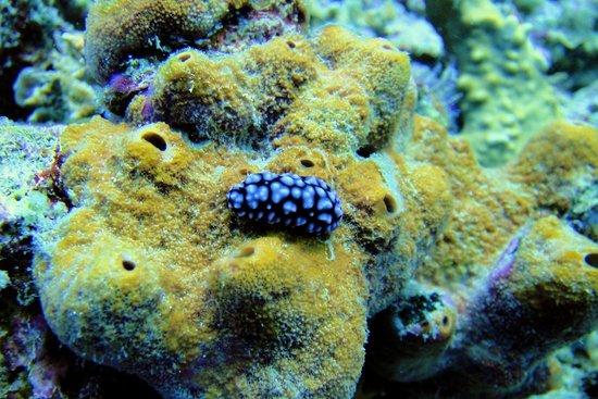 Kokak Dive Centre: Nudibranch