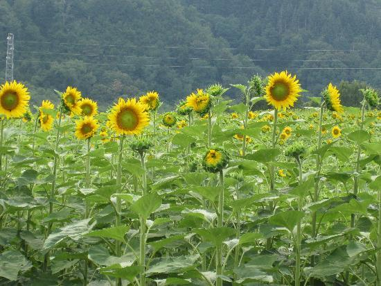 Scarperia e San Piero, Italia: sun flower field nearby