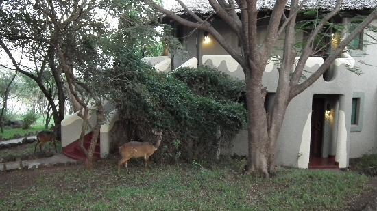 Lake Manyara Serena Lodge: the wildlife also seem to like the Serena
