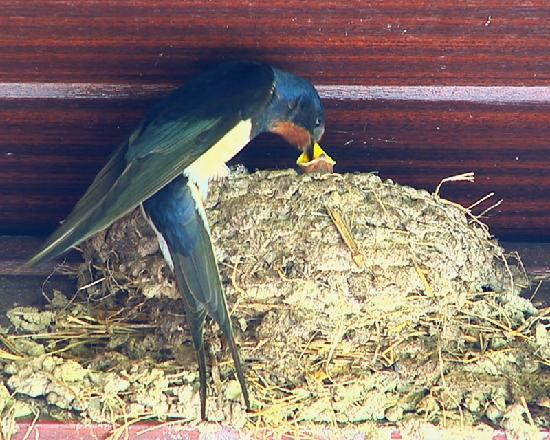 Howey, UK: Swallows nesting on the balcony