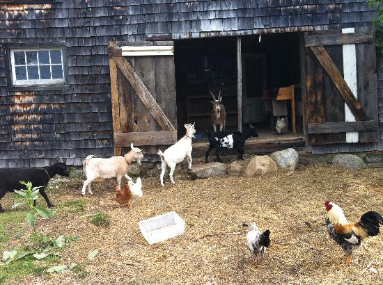Olde Orchard Inn: Feeding the animals!