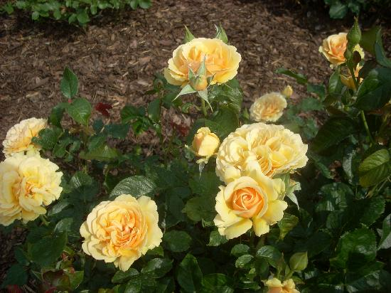 Niagara Parks Botanical Gardens: Here, a shot of several Sutter's Gold blooms.