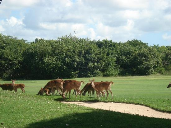 Constance Belle Mare Plage: deer on the legends golf course