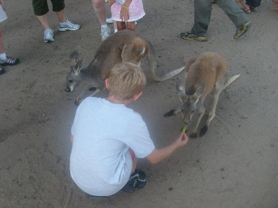 Hedrick's Exotic Animal Farm Bed and Breakfast: kangaroos