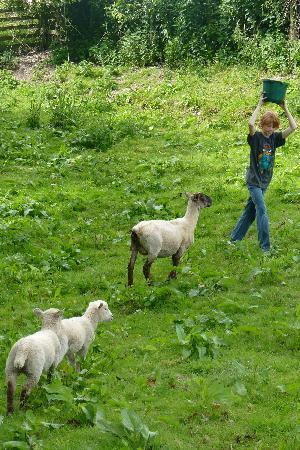 Nantgwynfaen Organic Farm : the Pied Piper of sheep!