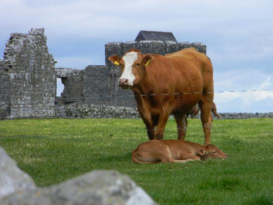 Wolfhound Adventure Tours : Cows amid the ruins of an abby