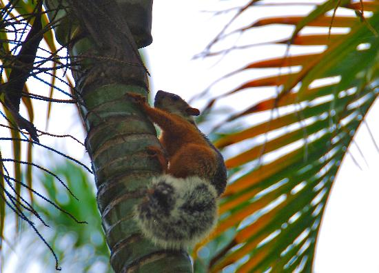 Sueno del Mar Beachfront Bed & Breakfast: Colorful Squirrels