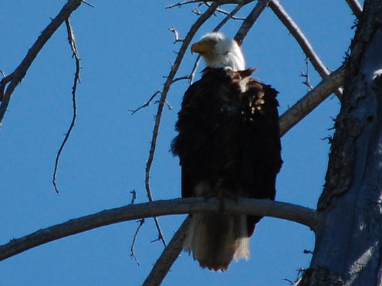Solitude Float Trips: Bald Eagle from the river