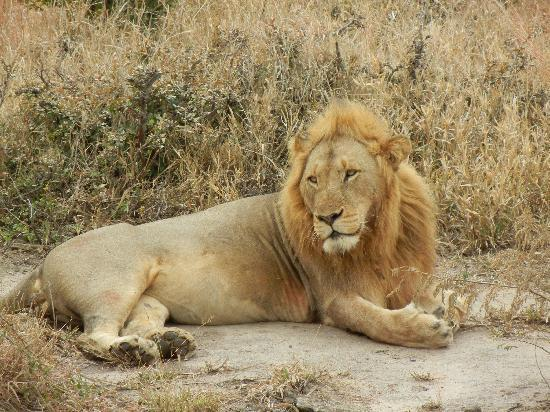 Honeyguide Tented Safari Camps: one of three lions post feed
