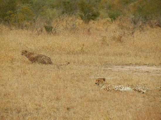 Honeyguide Tented Safari Camps: cheetahs on the lookout