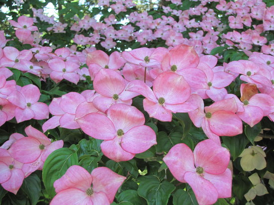 Annapolis Royal, Canada: Pink Dogwood
