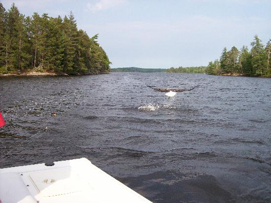 Pine Aire Resort: eagle fishing on Lake Kabetogama