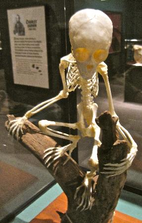 Pink Palace Museum : monkey skeleton