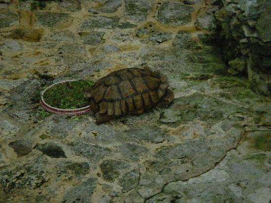 Iberostar Quetzal Playacar : Turtle