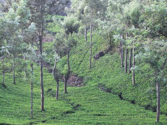 ‪‪Munnar - Terrace Greens, A Sterling Holidays Resort‬: Tea Gardens‬