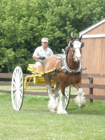 Larson's Famous Clydesdales: Great Show!