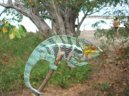 Loharano Hotel : camaleonte