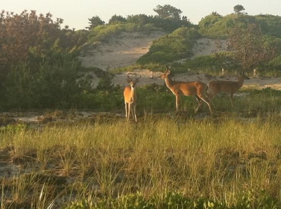 Fire Island, NY: deer by the beach.