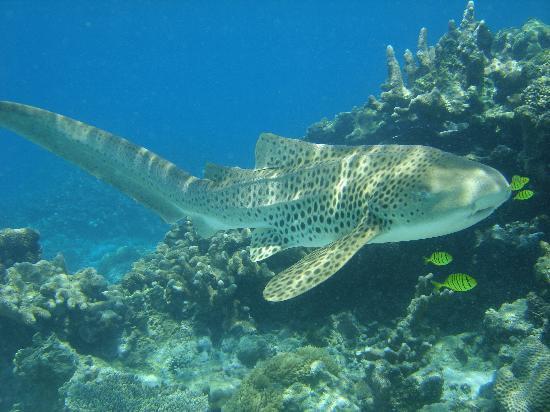 Andilana Beach Resort : Squalo leopardo a Nosy Tanikely