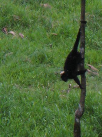 Island Path Panama : Howler monkey just up the road