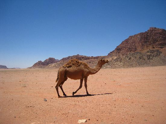Wadi Rum, Jordanien: stray camel in the desert