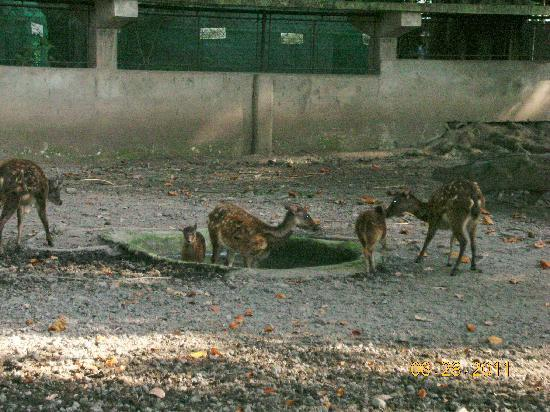 Center for Tropical Studies (CENTROP): endangered Visayan Spotted Deer