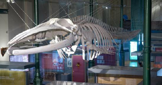 Museo Nacional de Ciencias Naturales: Esqueleto de ballena rorcual