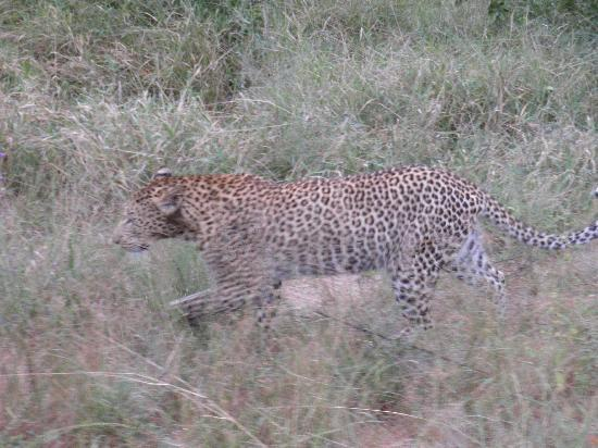 Pretvan Tours: we were lucky to see the leopard