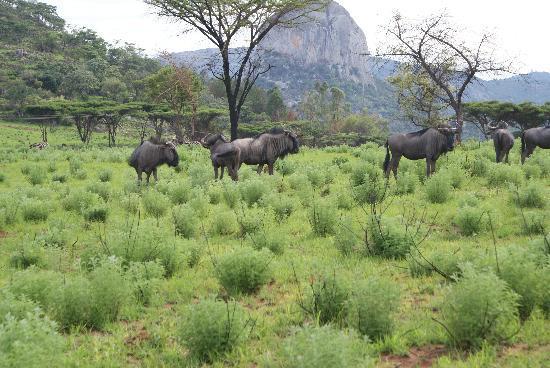 Nyanga, Zimbabwe: Wildebeest grazing