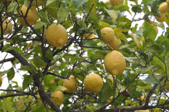 Il Cedro Bed & Breakfast: Lemons in the back yard
