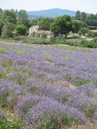Chateau du Martinet : Lavender field in Sault (30 min. drive)