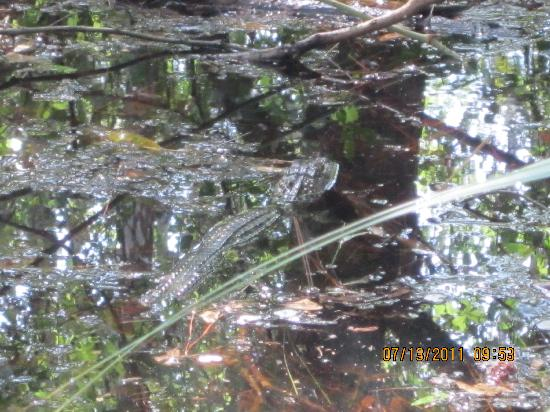 Six Mile Cypress Slough Preserve: first baby gator we spotted