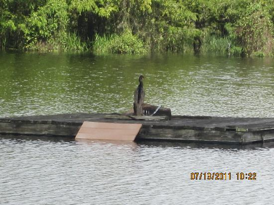 Six Mile Cypress Slough Preserve: Anhinga sunning himself