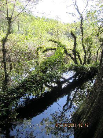 Six Mile Cypress Slough Preserve: Resurrection Fern