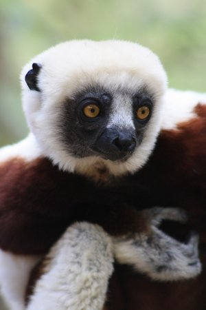 Antananarivo, Madagaskar: a Lemur at the Croc Farm