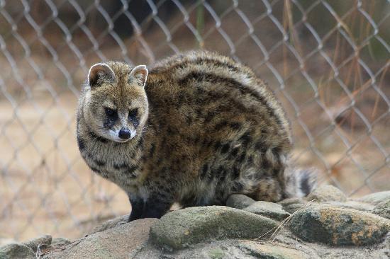 A Civet Cat at the Croc Farm