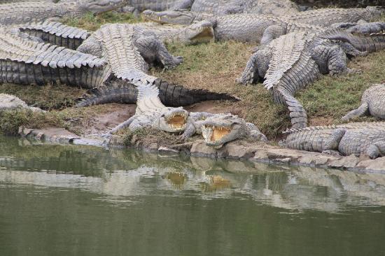 Some Crocs at the Croc Farm
