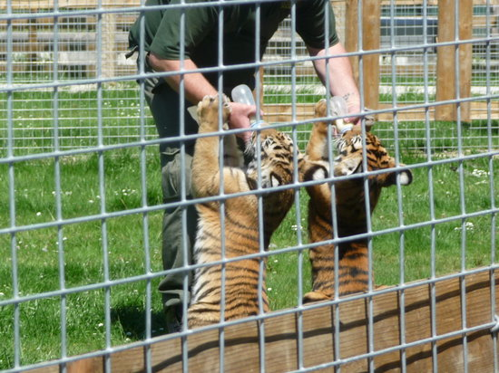 Wingham, UK: tiger cubs