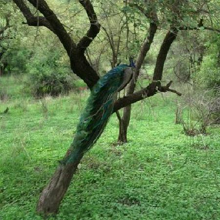 Alwar, India: Beautiful Peacock, turning away from mamma :)