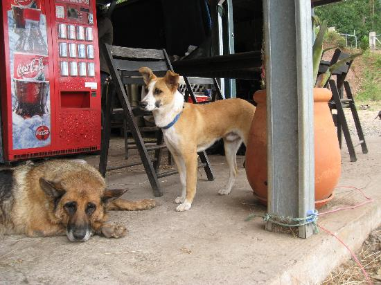 Santo da Serra, Portugal: Dogs after  the ride