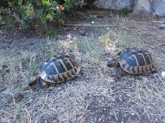 Mljet: turtles on monastery island